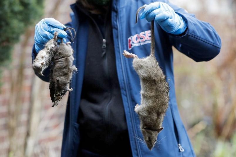 us news chicago rats 1 tb13 jpg